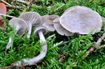 Mealy Funnel (Clitocybe vibecina)